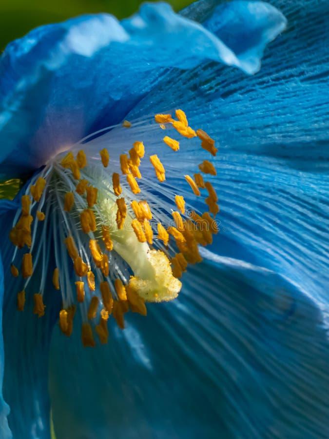 Blue himalayan poppy growing in botanical garden in washington stock photo