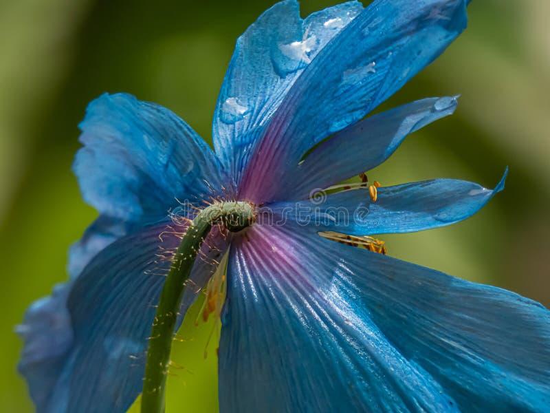 Blue himalayan poppy growing in botanical garden in washington stock images