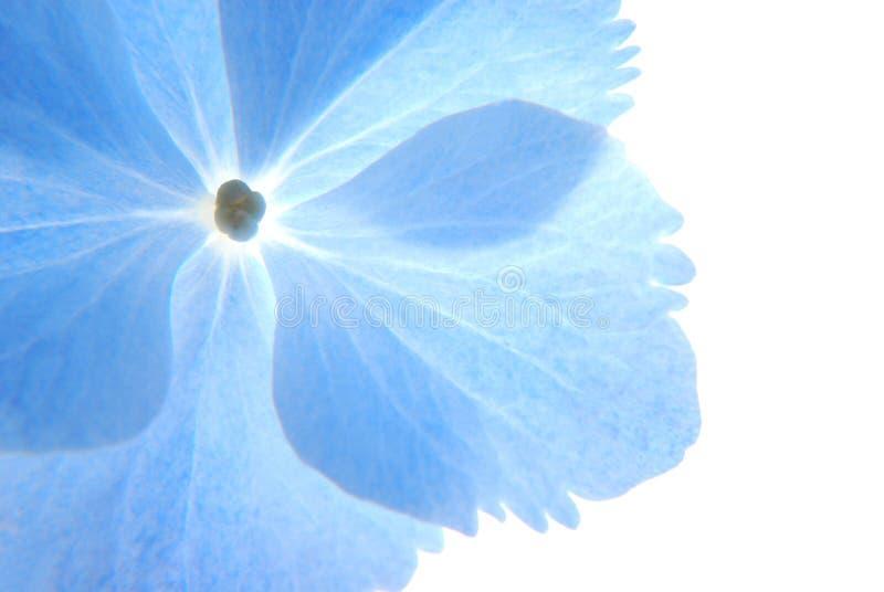 Blue hortensia stock images