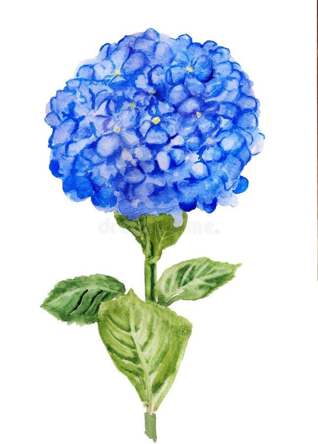 Blue Hortensia flower. Watercolor image of blue Hortensia flower on white nackground royalty free illustration