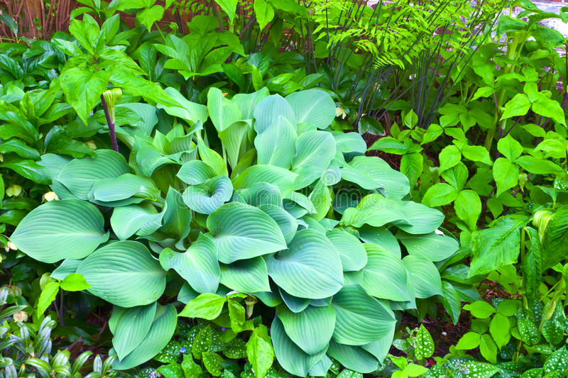 Download Blue Hosta stock photo. Image of plant, colorful, blue - 33069124
