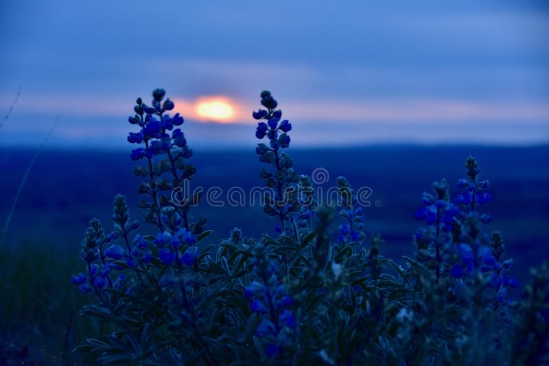 Blue Hour Beauties: Lupine at Sunset on the Horse Heaven Hills. Eastern Washington`s Shrub Steppe Springtime Spectacle includes lupine, and other luminous royalty free stock photography
