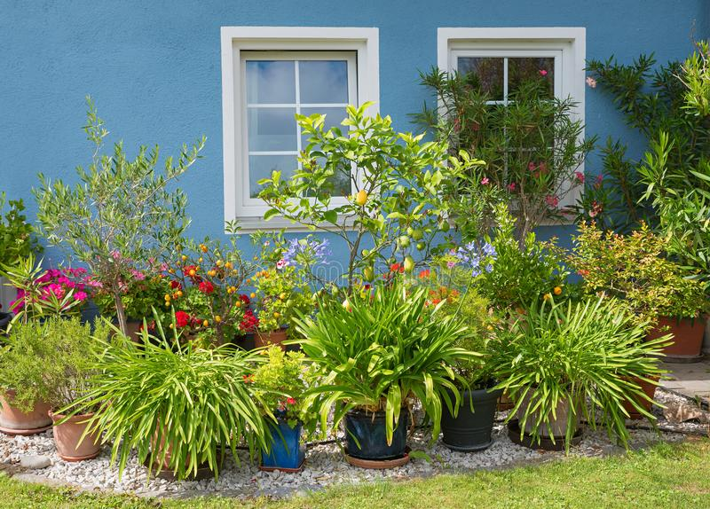 Blue house front with two white windows and mediterranean plants. Oleander, agapanthus, lemon and geraniums stock images