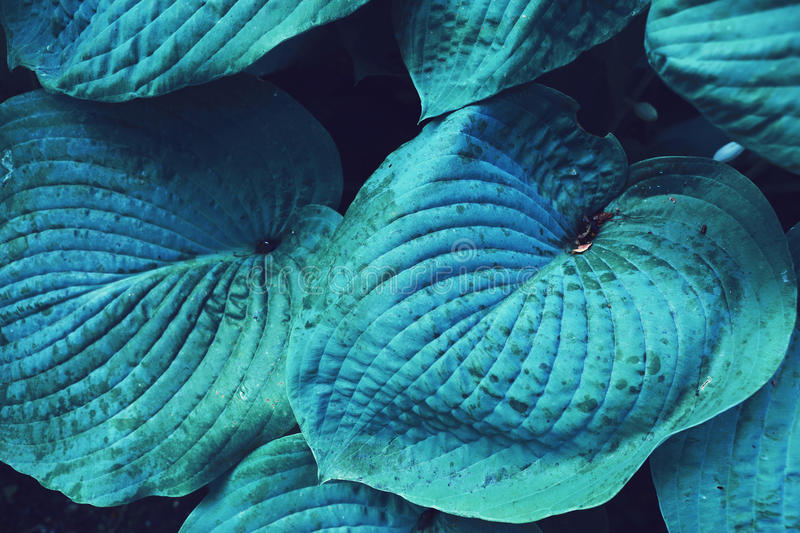Blue huge leaf plant close up photo royalty free stock images