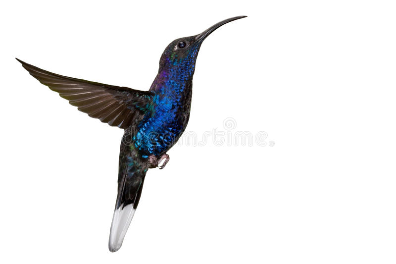 Blue hummingbird in flight isolated on white royalty free stock images