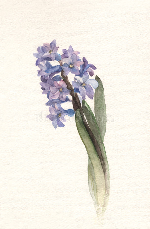 Blue hyacinth flower watercolor painting. The hand drawn watercolor of a blue hyacinth flower stock illustration