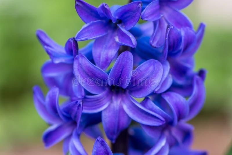 Blue Hyacinth Flowers. Close up. Macro photo of garden flowers stock image