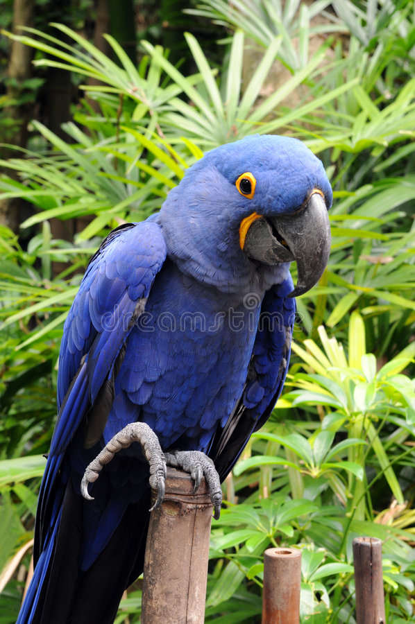 Download Blue Hyacinth Macaw stock image. Image of brazil, psittaciformes - 5040983