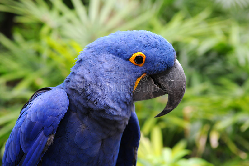 Download Blue Hyacinth Macaw stock image. Image of indigo, brazil - 5040987