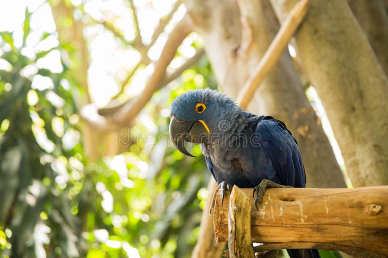 Blue Hyacinth Macaw Parrot on zoo branch stock image