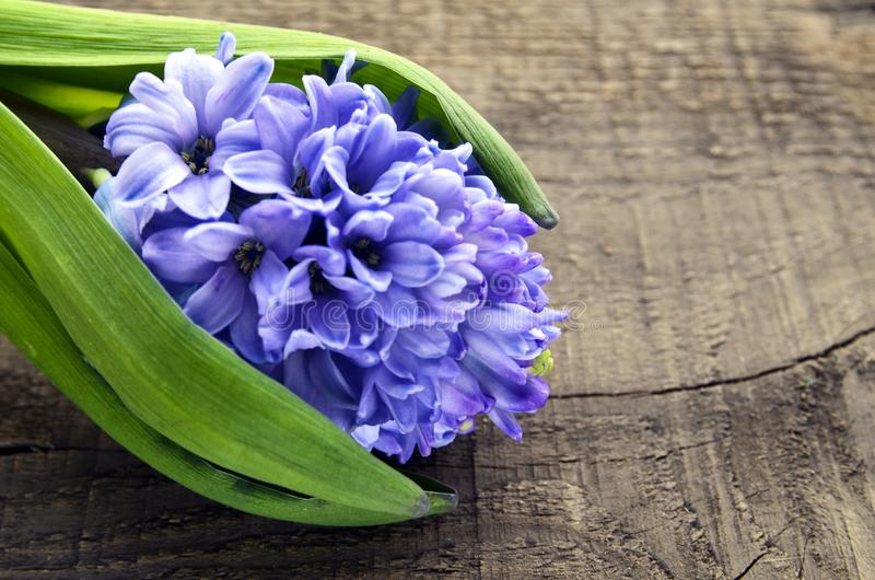 Blue hyacinth on old wooden background with copy space.Hyacinth spring flower. royalty free stock photos