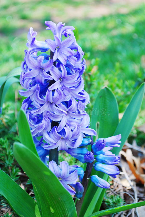 Download Blue hyacinths stock image. Image of easter, color, date - 24384317