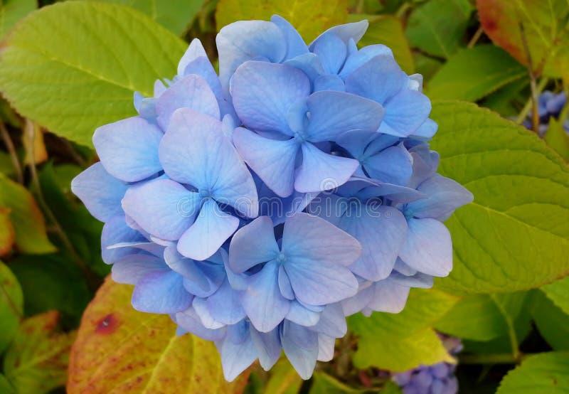 Download Blue Hydrangea Stock Photo - Image: 83718444