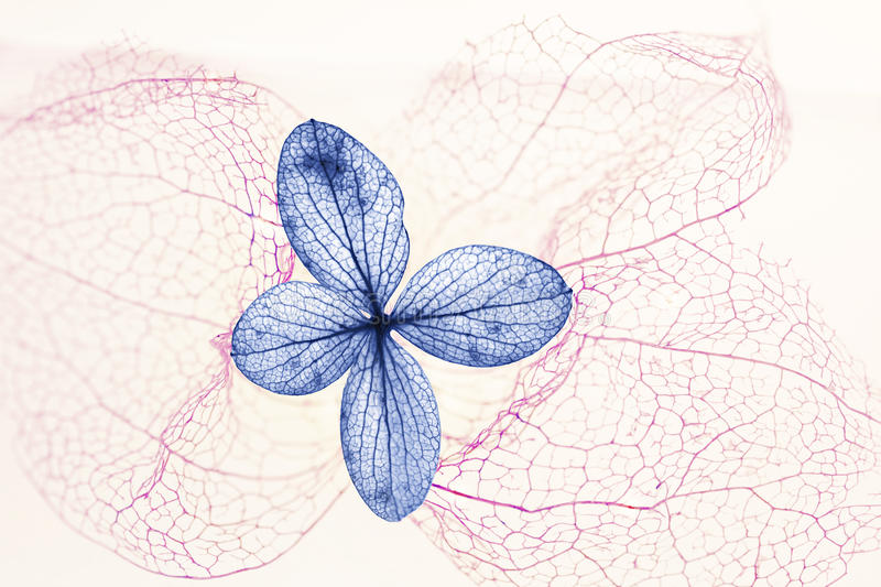 Blue hydrangea blossom and filigree pink physalis skeleton. Floral background stock photo