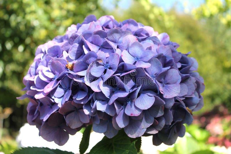 Blue hydrangea stock image