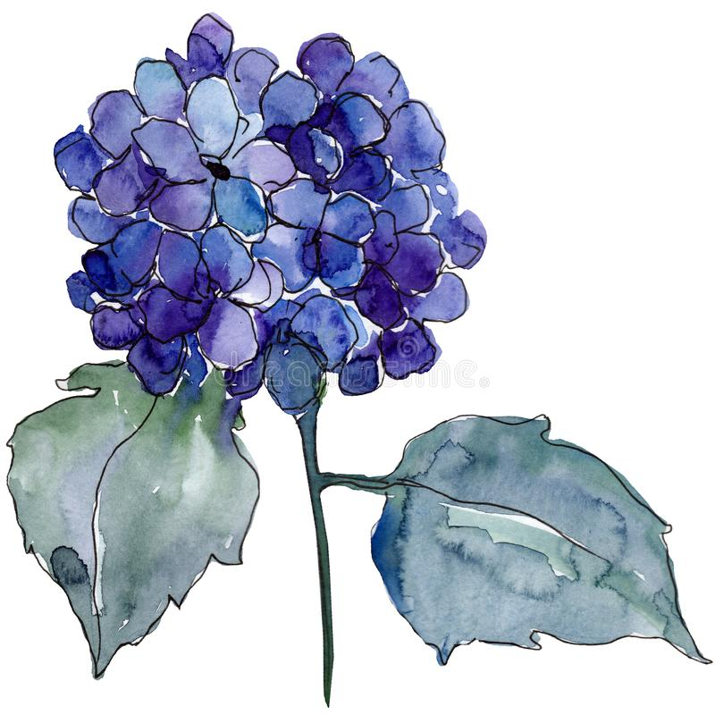 Blue hydrangea flower with green leaves. Isolated hydrangea illustration element. Watercolor background set. vector illustration