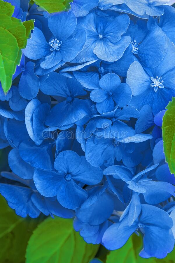 Blue hydrangea flower hydrangea macrophylla in the garden. Natural vegetative background and texture of the petals classic blue. Color royalty free stock images