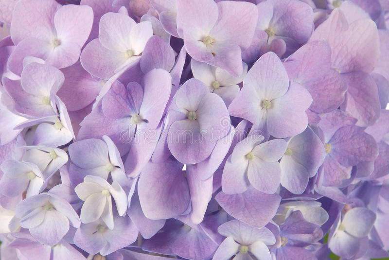 Blue hydrangea macrophylla. Beautiful purple hydrangeas flower background. Natural color royalty free stock photos