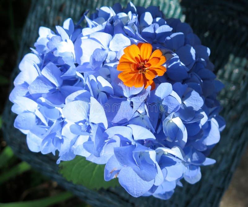 Blue hydrangea with orange zinnia at center royalty free stock photo