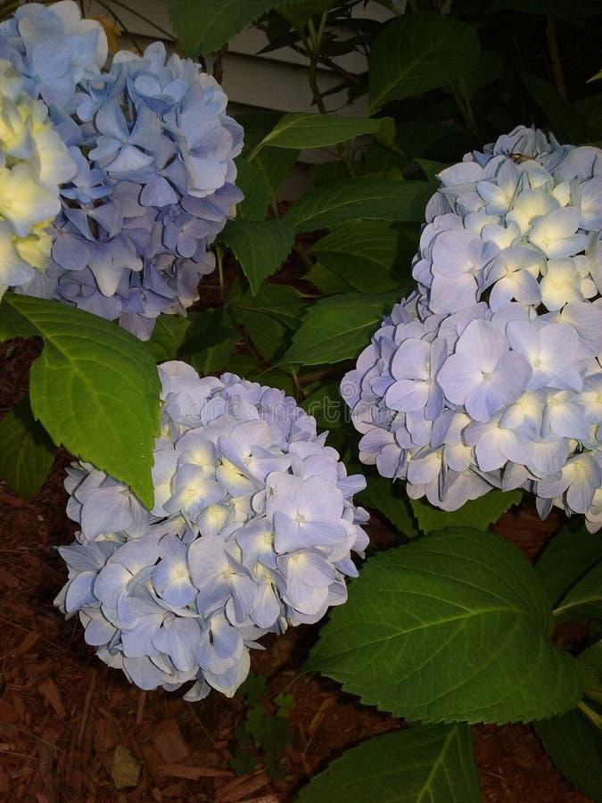 Blue Hydrangeas stock image