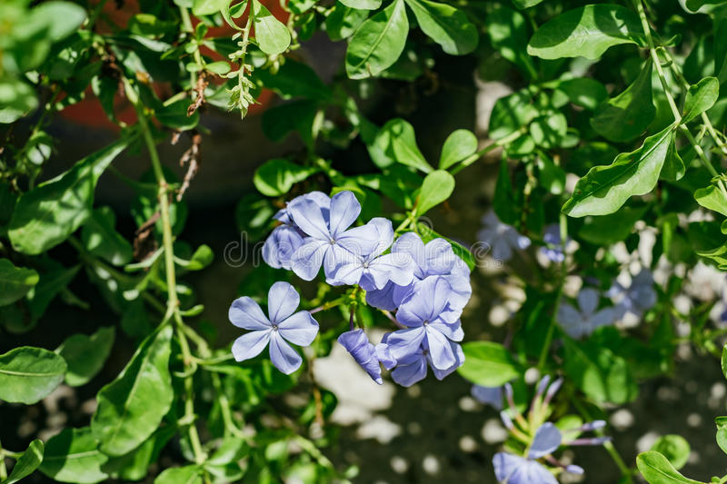 Blue ice bluster flower with green leaf.  stock photography