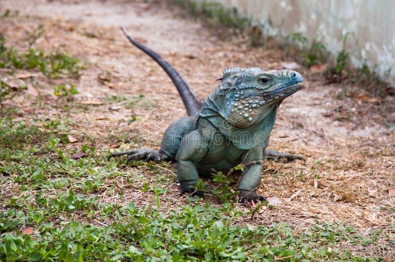 Blue iguana stock photography