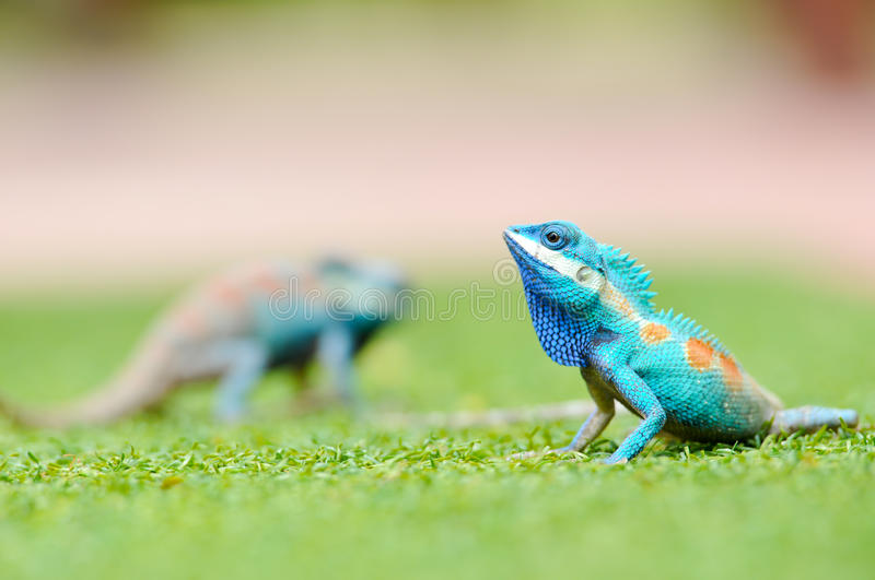 Blue iguana. In the nature royalty free stock photo