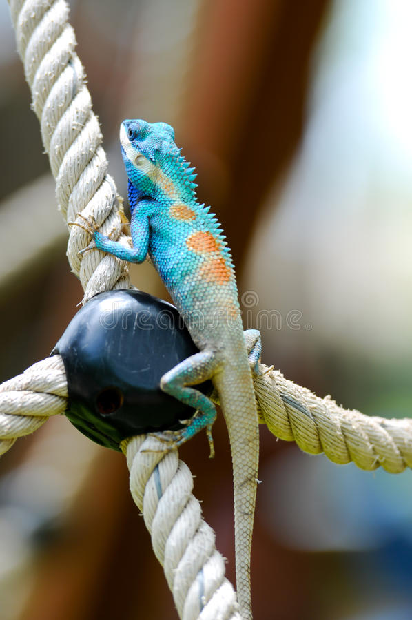 Blue iguana. In the nature royalty free stock photography