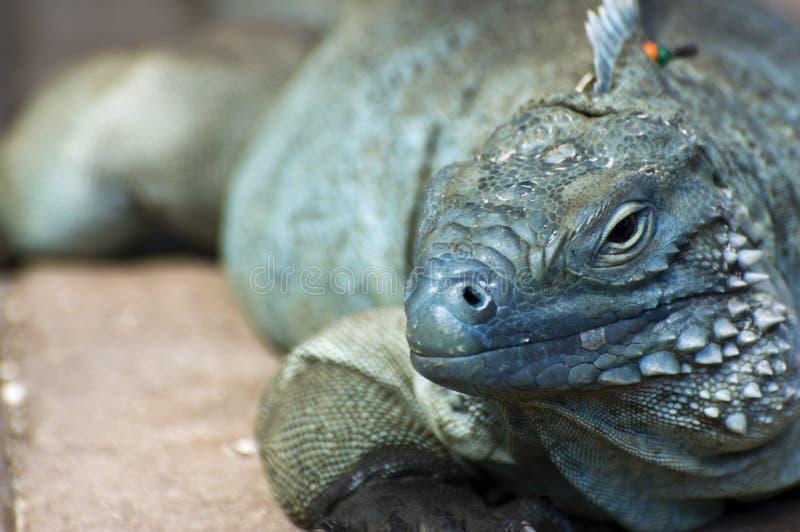 Blue Iguana (Cyclura lewisi) stock photo