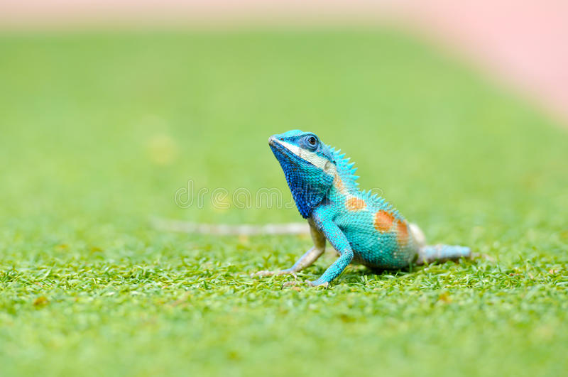 Blue iguana in the nature. Blue iguana in the Thailand nature stock photography