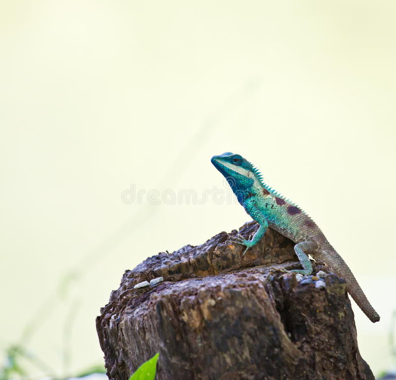 Blue iguana in the nature. At chonburi hailand royalty free stock images