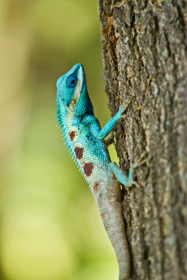 Blue iguana in the nature. At thailand stock photo