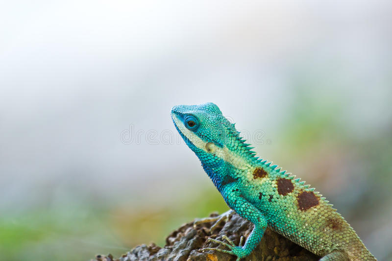 Blue iguana in the nature. At thailand royalty free stock photos