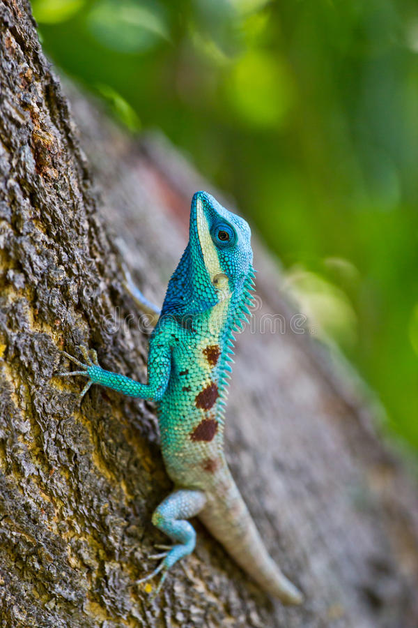 Blue iguana in the nature. At thailand royalty free stock image