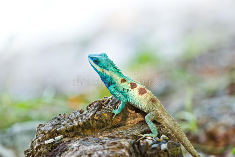 Blue iguana in the nature. At thailand stock photos