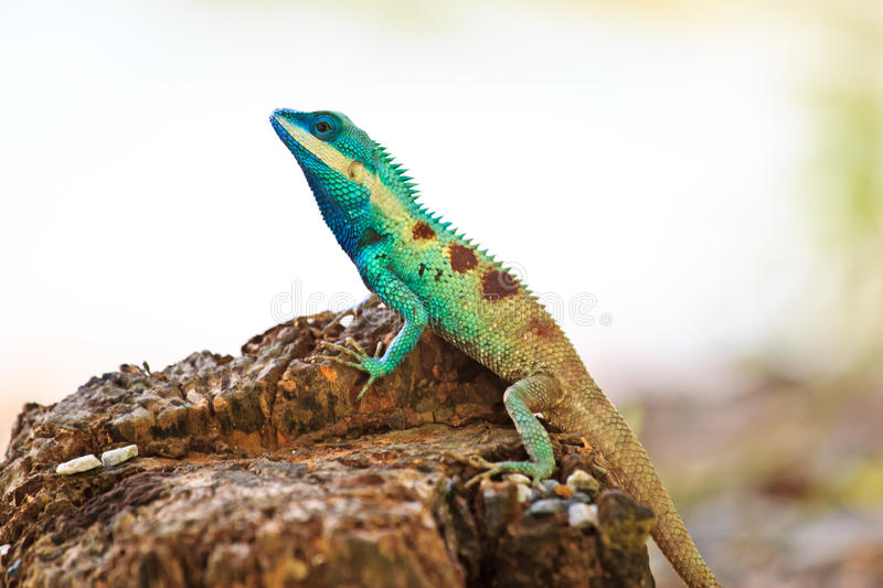 Blue iguana in the nature. At thiland stock photo