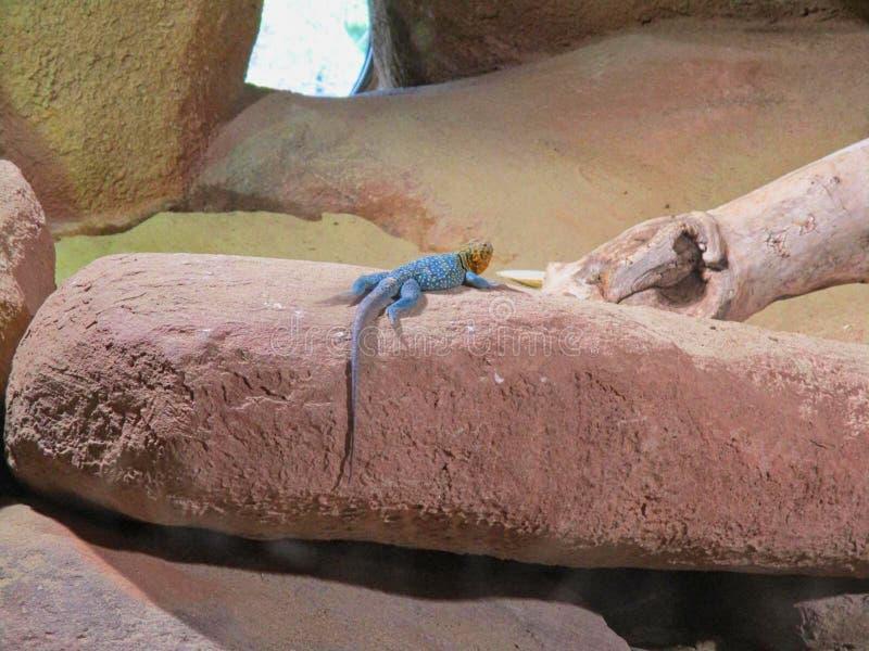 a blue iguana on a rock royalty free stock photo