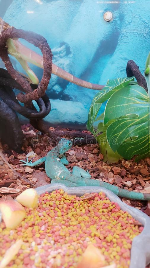Blue Iguana in a terrarium stock image