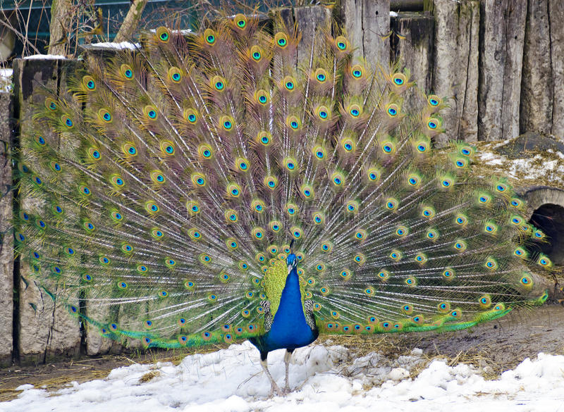 Blue Indian peafowl displaying the train. Male blue Indian peafowl displaying the train standing on snow royalty free stock photos