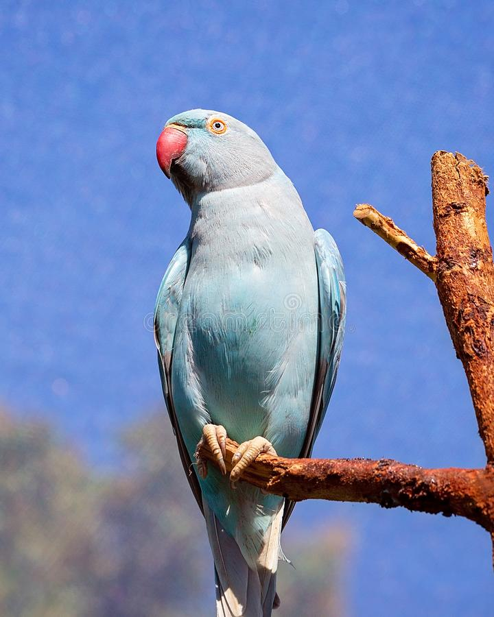 Indian Ring Neck Bird From India. Blue Indian ring neck parrot sitting on a branch with wire cage background against a blue sky royalty free stock image