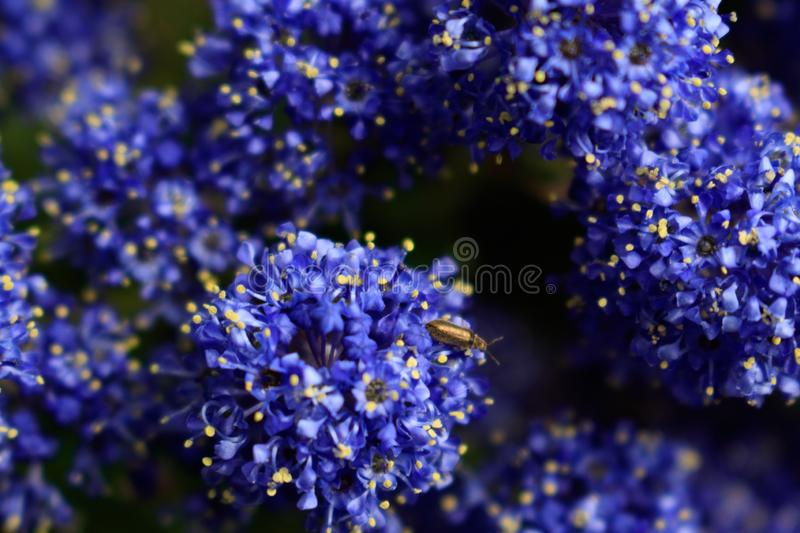 Blue indigo floral background. Macro shoot of  California lilac visited by insect. Blue indigo floral background. Macro shoot of  California lilac visited by royalty free stock photography