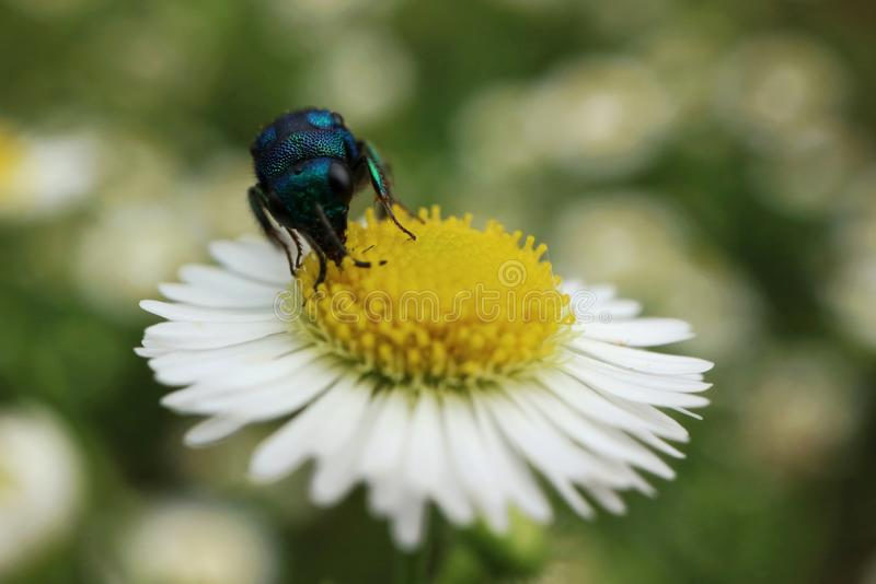 Blue insect sitting on a camomile royalty free stock image