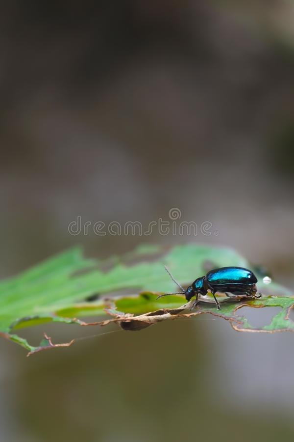 Blue insects on the leaves with holes, in the natural background stock images