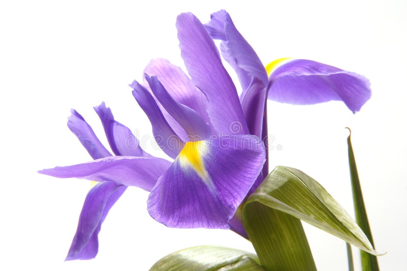 Blue iris. Wide open blue iris with yellow spots on petals on white background royalty free stock images