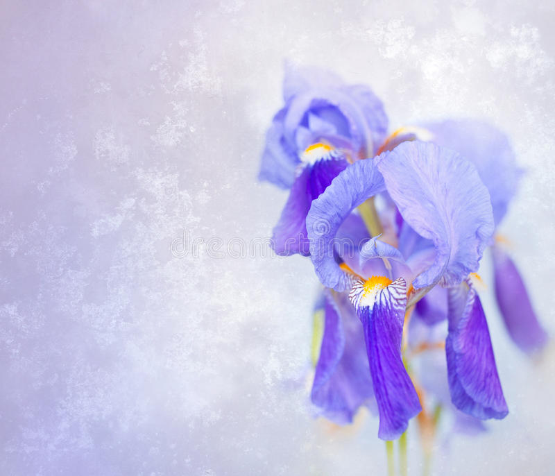 Download Blue iris stock photo. Image of floral, blossom, background - 23143816