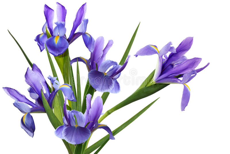 Blue Iris Flower. Bundle blue iris flower isolated on white background royalty free stock image