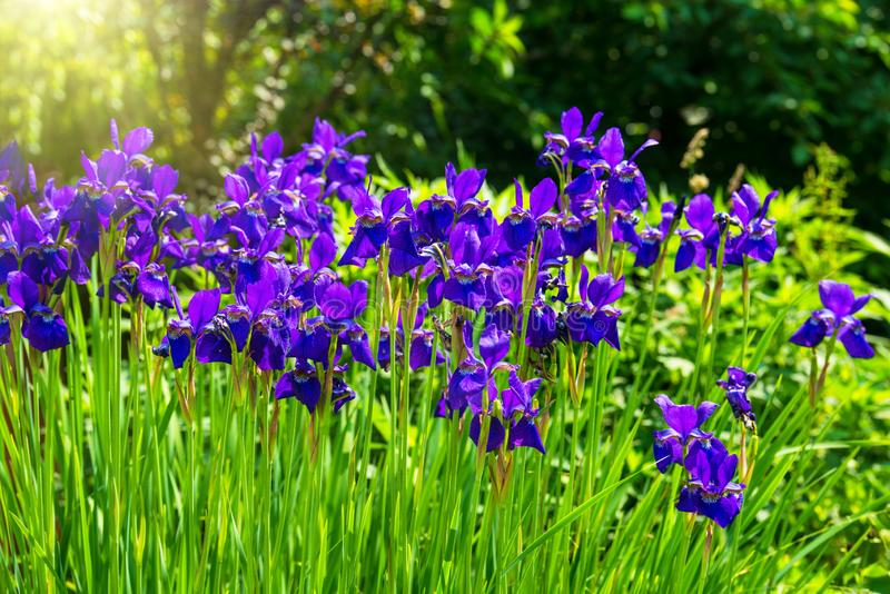 Blue iris flowers blooming in a garden. At sunny day royalty free stock photography