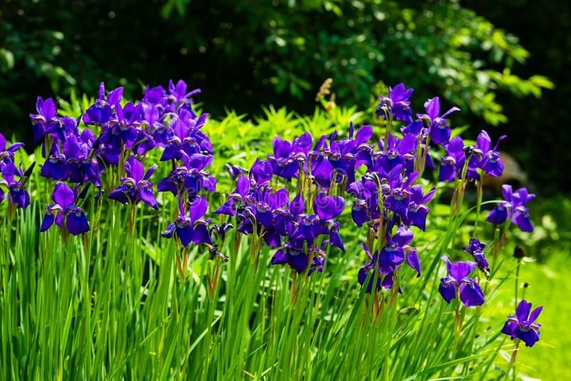 Blue iris flowers blooming in a garden. At sunny day stock photos