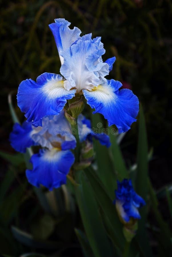 Blue Iris No. 1. Blue iris in full bloom against dark background stock images