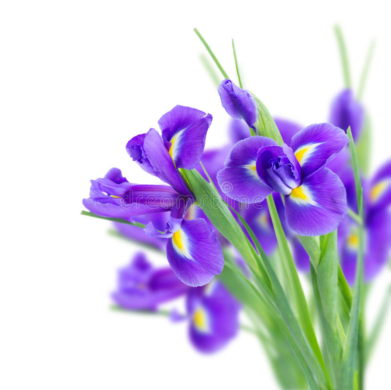 Download Blue irise flowers stock photo. Image of beauty, blue - 39512488
